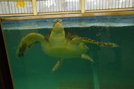越前松島水族館の海ガメ
