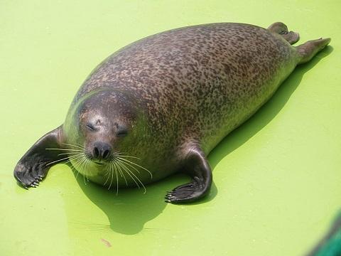 越前松島水族館のアザラシ